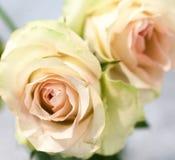 Den söta rosa färgrosen är blommor för skönhet och mildhet Royaltyfri Foto