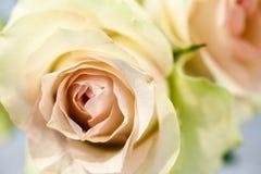Den söta rosa färgrosen är blommor för skönhet och mildhet Arkivfoto