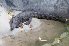 Den sötvattens- krokodilen sover nära dammet arkivbilder