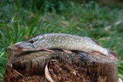 Den sötvattens- pikfisken ligger på en trähampa Arkivfoton