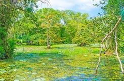 Den sötvattens- träskskogen royaltyfria foton