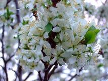 Den ` s fjädrar Blomningfruktträd arkivbild