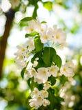 Den ` s fjädrar kunna blomningApple fruktträdgårdar den mest härliga tiden av året royaltyfria bilder