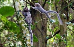 Den Saguis brasilianen härmar hopp på träd, i slinga till Pico gör det Jaragua berget i São Paulo, Brasilien arkivbilder