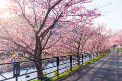 Den Sakura blomman parkerar in Fotografering för Bildbyråer