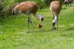 Den Sandhill kranen och behandla som ett barn fågelungen Arkivbild