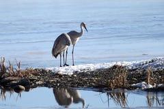 Den Sandhill kranen parar på den djupfryst floden Fotografering för Bildbyråer