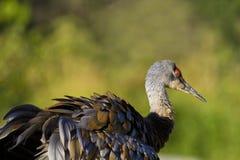 Den Sandhill kranen rufsar fjädrar mot grön bakgrund fotografering för bildbyråer