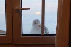 Den Sassy fiskmåsen kikar till och med fönstret arkivbild