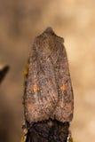 Den satellit- malen (den Eupsilia transversaen) Arkivfoto