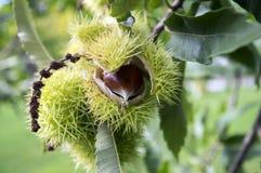 Den sativa öppnade castaneaen, söta kastanjer som döljas i taggiga cupules, smaklig brunaktig tokig marron, bär frukt Royaltyfri Fotografi