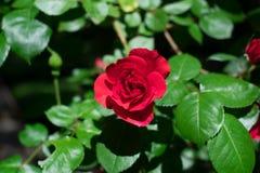 Den scharlakansröda röda rosen på en solig dag inf beklär av gröna sidor royaltyfria bilder
