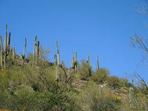 In den Schatten gestellt durch die Saguaros stockfotos