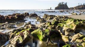 Den Seastack fristaden och den gröna weeden för fördjupning på den låga tiden understöder strandOSnationalparken Royaltyfri Foto
