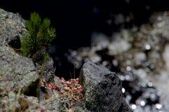Den Sedum spathufoliumen och ett mycket litet sörjer trädet på en klippkant Royaltyfria Bilder