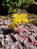 Den Sedum spathulifoliumen, skedar leaved fetknoppudde Blanco, med gula blommor Fotografering för Bildbyråer