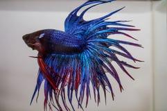 Den selektiva fokusen på den blåa fena för punkter och svansen av stridighet fiskar royaltyfri fotografi