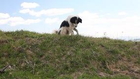 Den Sheppard hunden som bevakar getfårflocken i berg, betar ängen stock video