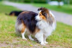 Den Shetland fårhunden ser till sidan royaltyfria foton