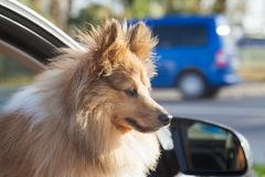 Den Shetland fårhunden ser ut ur ett bilfönster arkivfoto