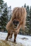 Den Shetland hästen som äter i ett snöig, betar Arkivfoto