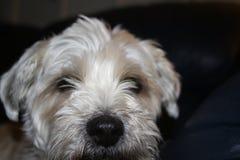 Den Shih tzuhunden är ledset lägga för blick mycket ner royaltyfri fotografi