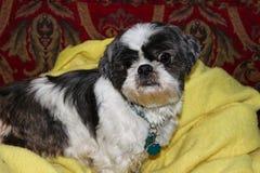 Den Shih tzuhunden som ligger på den gula filten, och den röda mönstrade soffan med den roliga framsidan och ont se synar royaltyfri bild