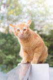 Den siam katten Arkivfoto