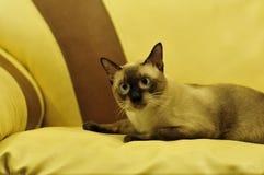 Den Siamese katten Royaltyfria Bilder