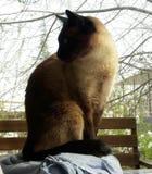 Den Siamese katten söker efter mat royaltyfri bild