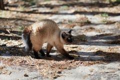 Den Siamese katten skrämdes och väser i skogen royaltyfri fotografi