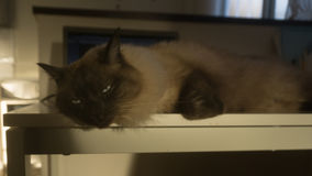 Den Siamese thai katten lägger på tabellen efter veterinär- kirurg Arkivfoto