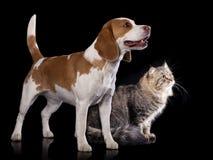 Den Siberian katten och beaglet ser upp royaltyfri bild