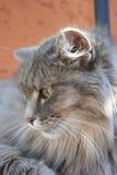 Den Siberian katten vilar Royaltyfri Fotografi
