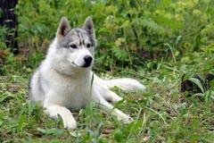 Den Siberian skrovliga hunden har en vila Royaltyfri Fotografi