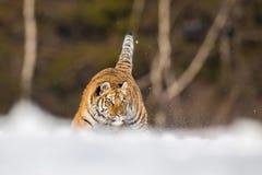 Den Siberian tigern, Panthera tigris tigris arkivfoto