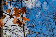 Den sista lövverket, slutet av hösten Arkivfoto