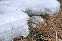 Den sista snön är i vårskog Royaltyfri Fotografi
