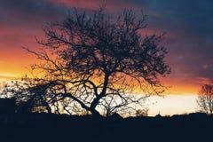 Den sista solnedgången för detta gamla träd Arkivbilder