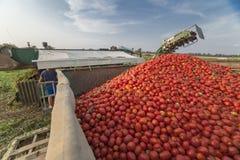 Den självgående skördearbetaren samlar tomater i släp Vegas Baj royaltyfria foton