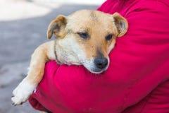 Den sjuka hunden är i händer av kvinnan Omsorg för husdjur Skydd av arkivfoton