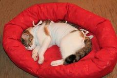 Den sjuka tricolor katten med förbinder royaltyfria bilder