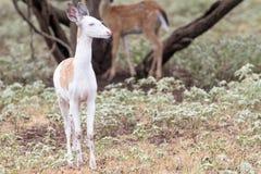 Den skäckiga whitetailen lismar Royaltyfri Fotografi