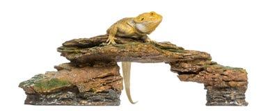 Den skäggiga draken sätta sig på en sten, Pogona vitticeps Arkivbilder