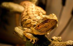 Den skäggiga draken värme sig arkivfoto
