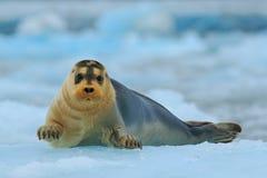 Den skäggiga skyddsremsan på blå och vit is i arktiska Svalbard, med lyfter upp fena Arkivfoton