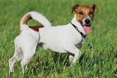 Den skämtsamma Jack Russel terriern står på gräset arkivbild