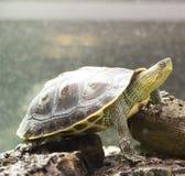 Den sköldpaddaOcadia sinensisen arkivfoton