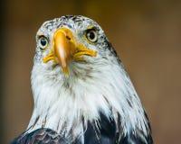 Den skalliga örnen Arkivfoto