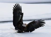 Den skalliga örnen flyger upp från jordningen snow Vinter USA _ Chilkat flod arkivfoton